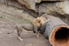 Lion stretch. A male lion stretches on a large tree trunk Stock Photography