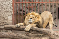 Lion stretch. A big lion stratching in the cage Stock Photo