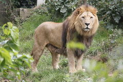 Lion. Strong lion in a zoo Stock Image
