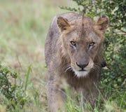 Lion Strut Immagini Stock