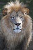 Lion suffisant Images libres de droits