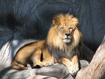 Lion in the Sun. Male Lion soaking in the sun, as he gazes upon his domain Stock Photography
