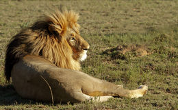 Lion in the sun. Male lion lying down resting in the hot afternoon sun Royalty Free Stock Images