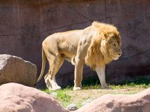 Lion in the sun Stock Images