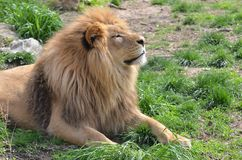 Lion in the sun Royalty Free Stock Images