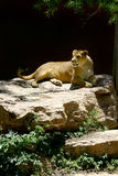 Lion in the Sun Stock Image