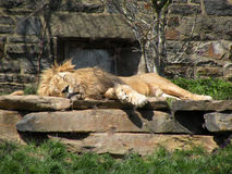 Lion in the sun. Lion sunning himself on a rock in the sun Royalty Free Stock Photography