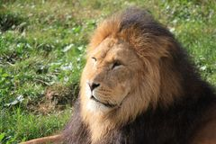 Lion in the sun. Male lion in the sun Stock Images