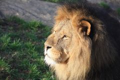 Lion in the sun. A lion stares in the sunshine Royalty Free Stock Photos