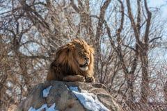 Lion Sunning maschio dalla faccia cicatrice sulle rocce Fotografia Stock