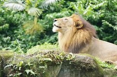 Lion sunning Royalty Free Stock Photos
