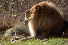 Lion on a sunny day Royalty Free Stock Photography
