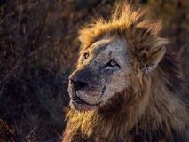 Lion in sunrise glow. This male lion was spotted just before sunrise with a recent zebra kill. As he sat resting after the exertion of the kill, the sun rose Royalty Free Stock Images