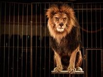 Lion sur l'arène Photos stock