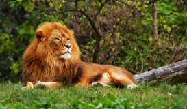 Lion sur l'herbe verte Photos stock