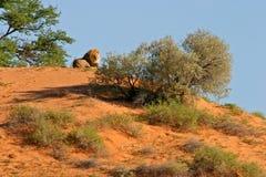 Lion sur la dune Photos libres de droits