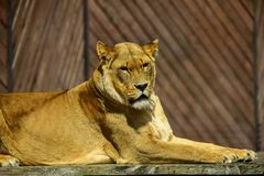 Lion sur la passerelle au zoo R-U photo libre de droits