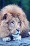 Lion sur la roche Photographie stock