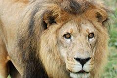 Lion sur le vagabondage Photo stock