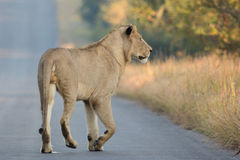Lion sur le vagabondage Images stock