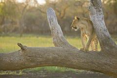 Lion sur un arbre au coucher du soleil Photographie stock