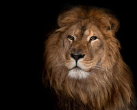 Lion sur un fond noir Photo stock