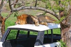 Lion sur un véhicule abandonné Image libre de droits