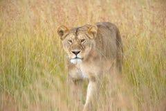Lion sur un vagabondage Image libre de droits