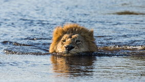 Lion is swimming through the swamp. Okavango Delta. Stock Photo