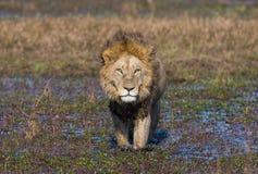 Lion is swimming through the swamp. Okavango Delta. Royalty Free Stock Photos