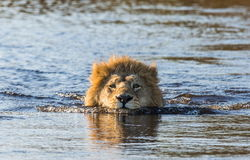 Lion is swimming through the swamp. Okavango Delta. Royalty Free Stock Photo