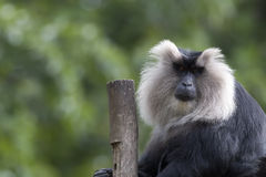 Lion tailed macaque Royalty Free Stock Images