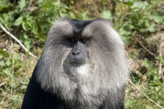 The lion-tailed macaque Stock Photo