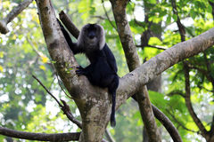 Lion-tailed macaque. A lion-tailed macaque on the tree branch Stock Photography