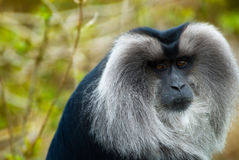Lion-tailed Macaque Royalty Free Stock Photo