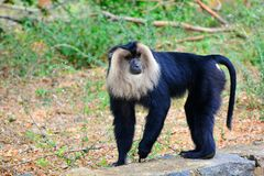 Lion tailed macaque Royalty Free Stock Photos