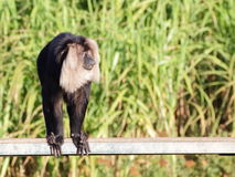 Lion-tailed macaque on the bench Stock Photo