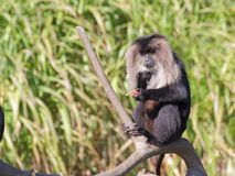 Lion-tailed macaque eating fruits - portrait Stock Photos