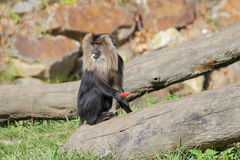 Lion-tailed macaque eating fruits - portrait Stock Photo