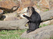 Lion-tailed macaque eating fruits - side view Stock Photography