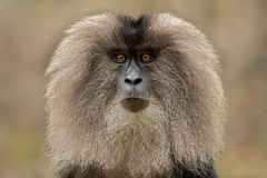 Lion-tailed macaque Royalty Free Stock Photos