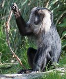 Lion Tailed Macaque. A Lion Tailed Macaque sitting on the grass, staring royalty free stock photo