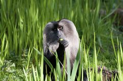 Lion Tailed Macaque. A Lion Tailed Macaque sitting on the grass, staring royalty free stock images