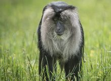 Lion Tailed Macaque. A Lion Tailed Macaque sitting on the grass, staring stock photography