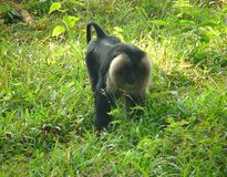 Lion Tailed Macaque Macaca Silenus Stockbilder