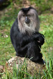 Lion-tailed macaque (Macaca silenus), also known as the wanderoo Stock Photography