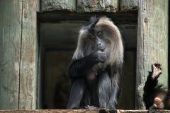 Lion-tailed macaque (Macaca silenus). Stock Photos