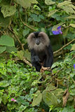 Lion-tailed macaque Macaca silenus. Endemic to the Western Ghats of South India. Conservation status: Endangered royalty free stock photography