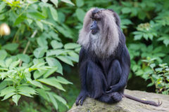 Lion-tailed Macaque (Macaca silenus) Royalty Free Stock Photo