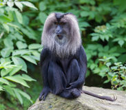 Lion-tailed Macaque (Macaca silenus) Stock Photography